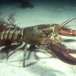 PETA Member Helps Take 140-Year-Old Lobster Home by Patricia Knudsen by Guest Blogger