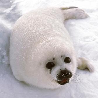seal-pup-white.jpg