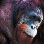 Stop The Use of Great Apes in Painful, Invasive Experiments by Guest Blogger