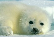 The EU Takes a Stand for Seals by Guest Blogger