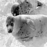 Save Seals: Boycott Canadian Maple Syrup! by Steve Martindale