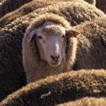 World's Largest Australian Wool Buyer Pushes for an End to Mulesing Mutilation by Guest Blogger