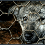 Help Shut Down the Chinese Fur Trade by Steve Martindale