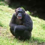 Prime Victory! EU Bans Testing on Great Apes! by Guest Blogger