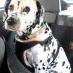 Does Your Pooch Buckle Up? by Guest Blogger