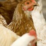 Victory! Hens Spared Horrific Death in Grinder by Guest Blogger