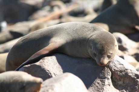 cape-fur-seal