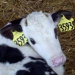 Dairy farm abuses hard to swallow