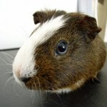 guinea