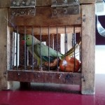 2015-05.rescued parrot (1)