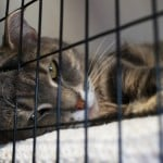 Tabby cat at the VBSPCA