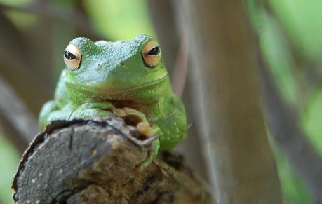 Cute-Green-Frog460