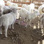 7E-Rough-fast-shearing-
