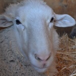 peta2 staffers visited Farm Sanctuary in Acton, California. Happy white sheep.