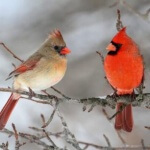 Cardinals-in-Snow-602x401
