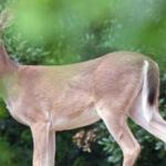 deer-freeimages460