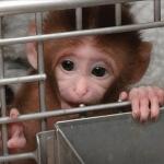 NIH baby monkey