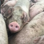 pig farm500