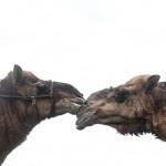 2015-09.camels Karan and Waheed 500jpg