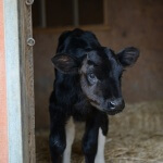 p_misc_rescues_holly_the_calf_peta_at_sanctuary_006500