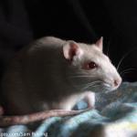 rat for blog
