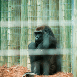 sad gorilla for blog