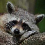 raccoon-365366_1280