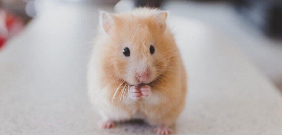 Long Haired Hamster Petsmart 61