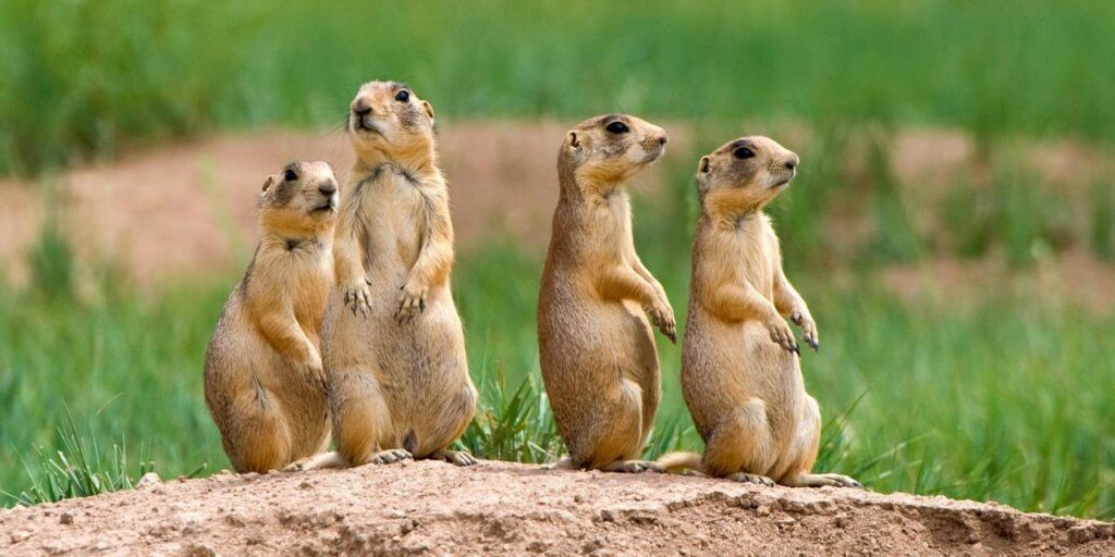 Peta Prime What Does A Prairie Dog Have To Say More Than You Might
