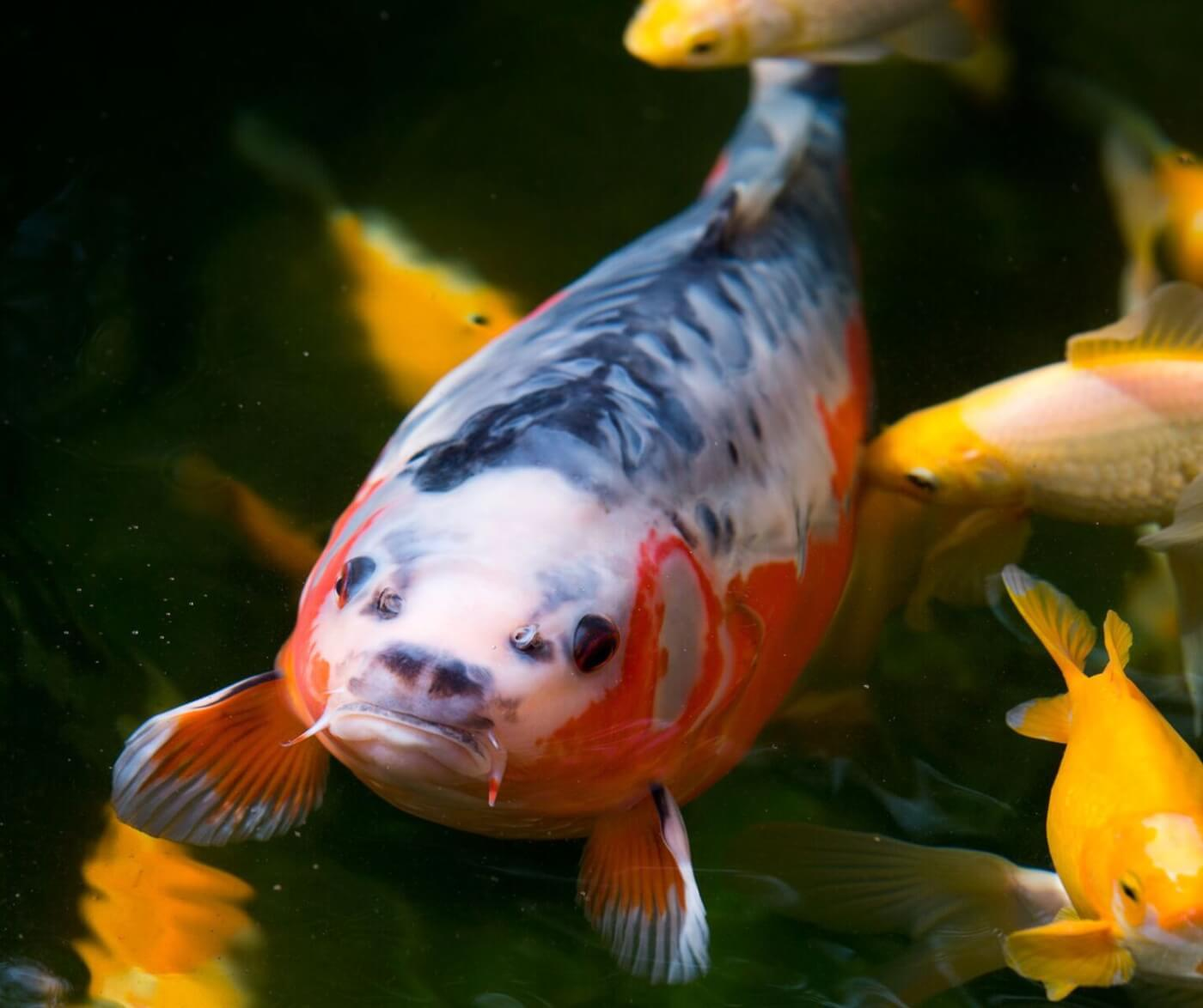 Peta prime fish are friends not food part 2 for How much are koi fish