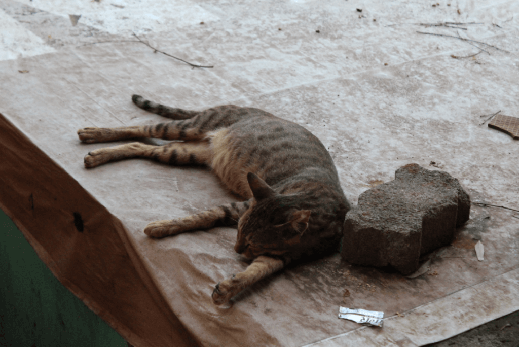 Peta prime how peta india is fixing a cat astrophe spaying and neutering not only prevents cats from bringing generation after generation of kittens into a world thats already short on responsible homes for sciox Image collections