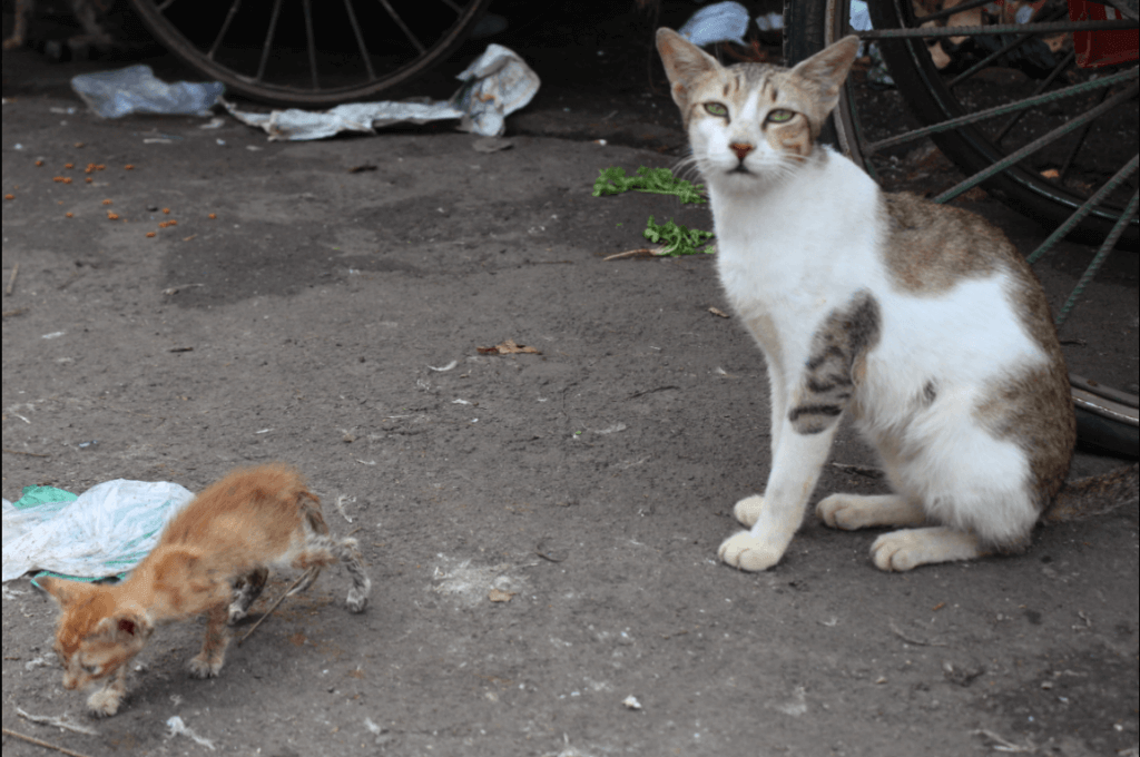 Peta prime how peta india is fixing a cat astrophe peta india needs the support of caring people to expand lifesaving programs like this one want to help visit petaindia to help us give their vital sciox Image collections