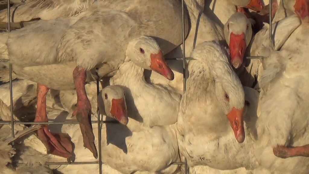 555c3b3d50c PETA Prime: The FDNY's Canada Goose Mistake
